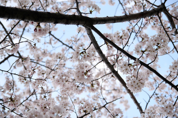 桜(さくら)134