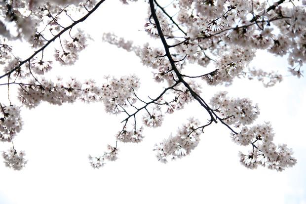 桜(さくら)135