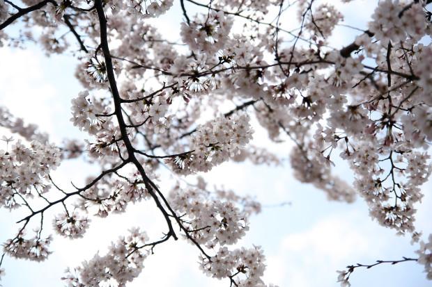 桜(さくら)137
