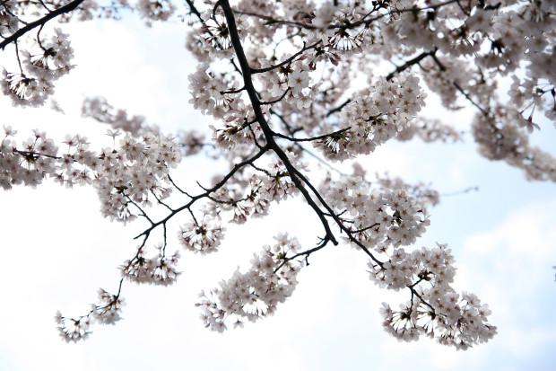 桜(さくら)138