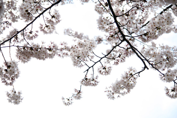 桜(さくら)139