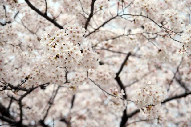 桜(さくら)140