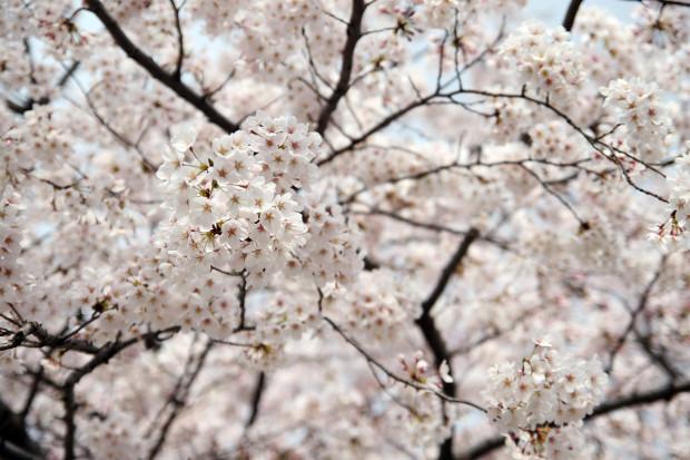 桜(さくら)141