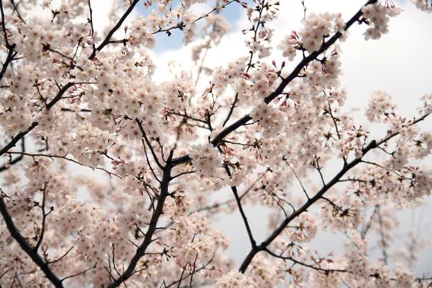 桜(さくら)142