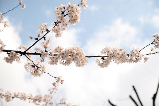 桜(さくら)143