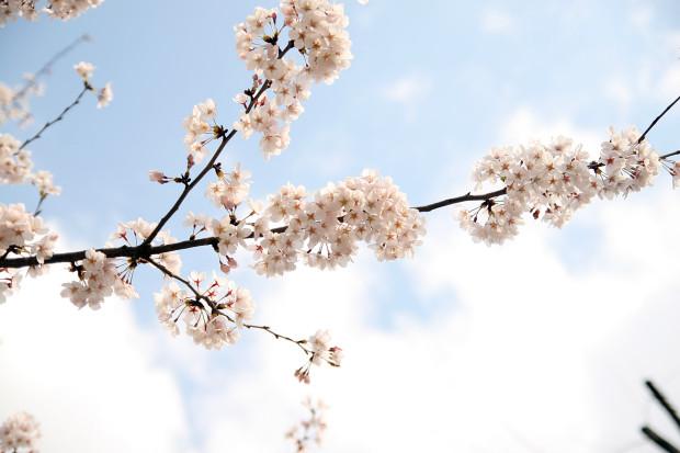 桜(さくら)144