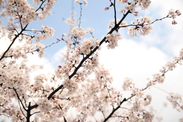 桜(さくら)145