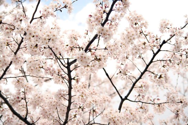 桜(さくら)146