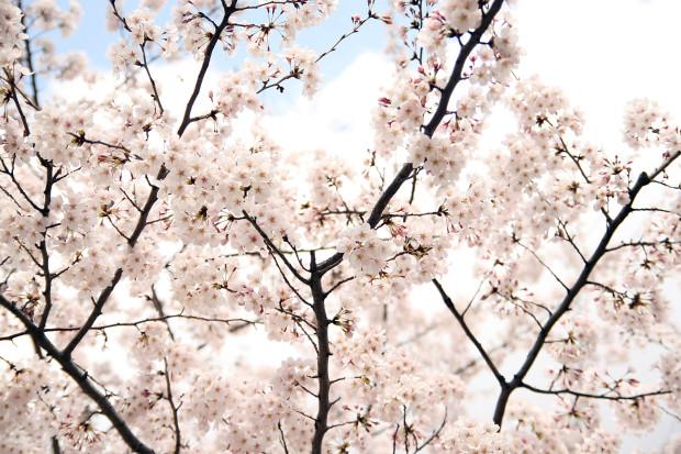 桜(さくら)147
