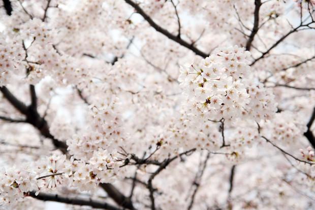 桜(さくら)148