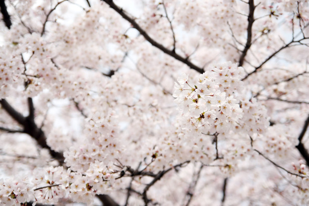 桜(さくら)149
