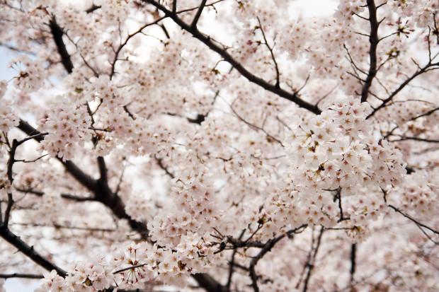 桜(さくら)150