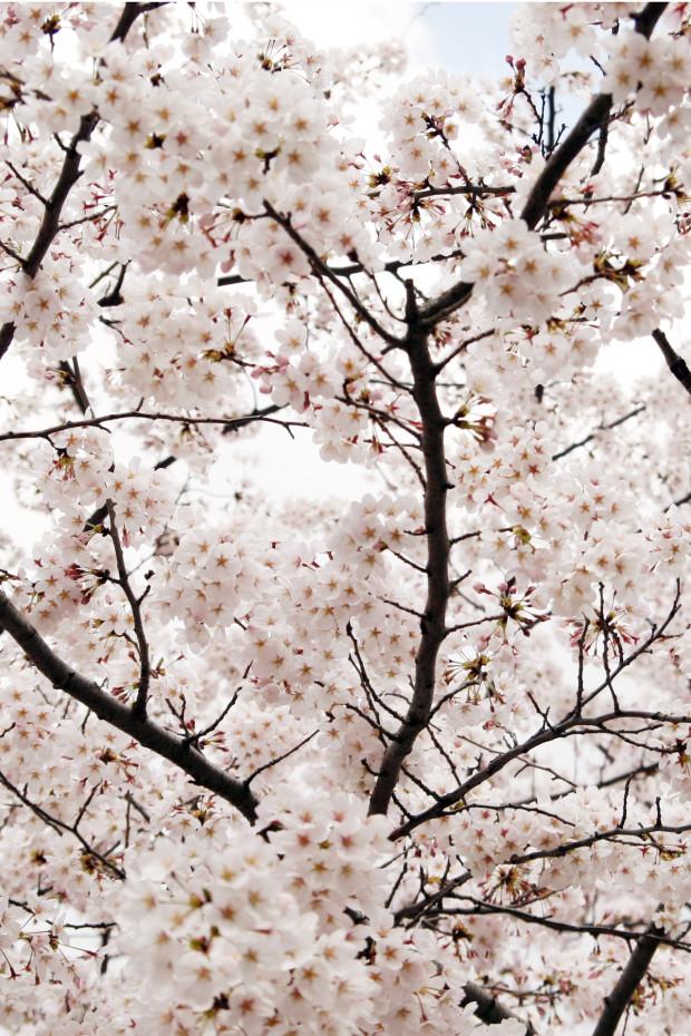 桜(さくら)151
