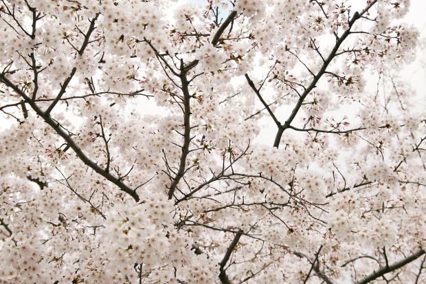 桜(さくら)152