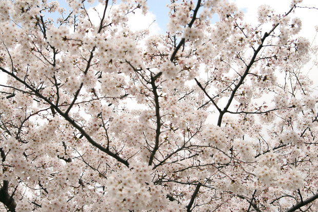 桜(さくら)153