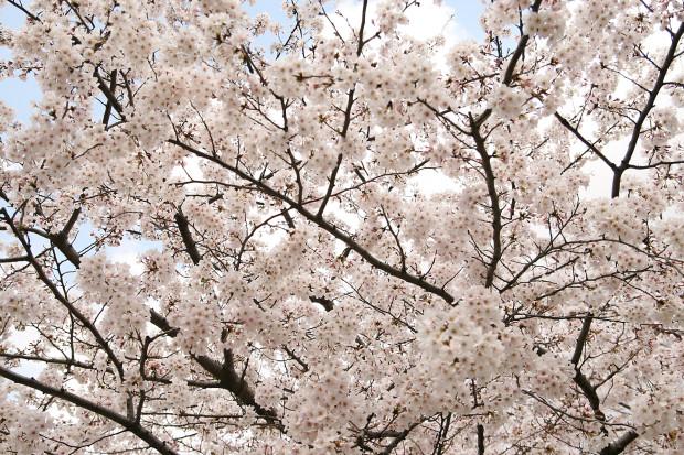 桜(さくら)154