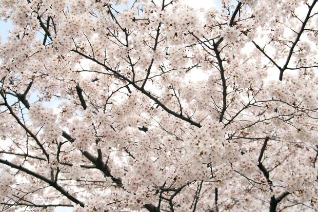 桜(さくら)155