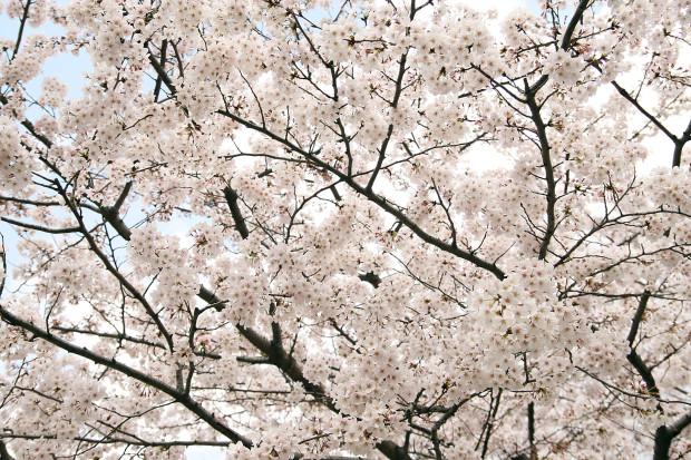 桜(さくら)156