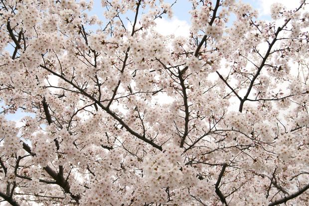 桜(さくら)157