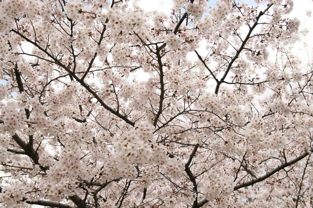 桜(さくら)158