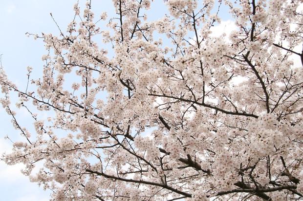 桜(さくら)159