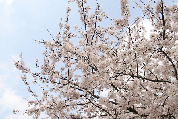 桜(さくら)160