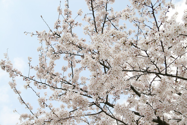 桜(さくら)161