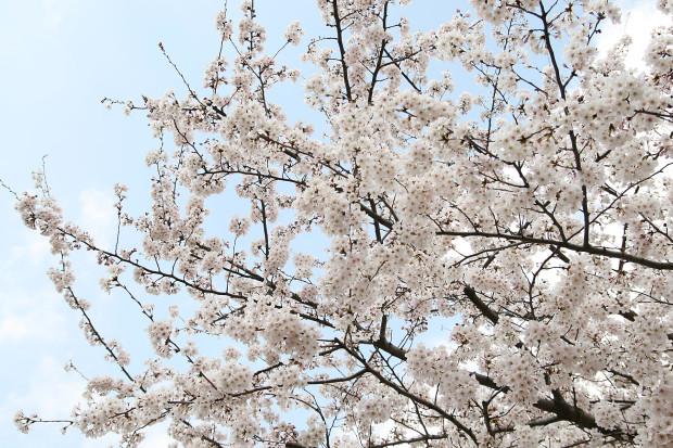 桜(さくら)162