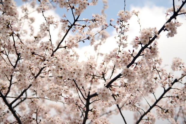 桜(さくら)163
