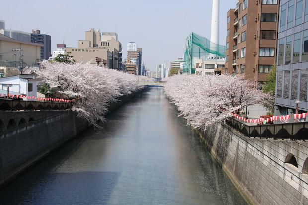 桜(さくら、目黒川花見)164