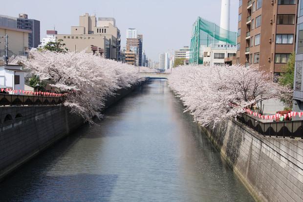 桜(さくら、目黒川花見)165