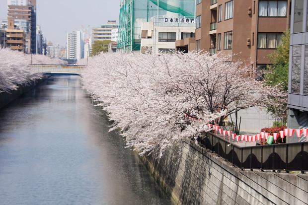 桜(さくら、目黒川花見)166