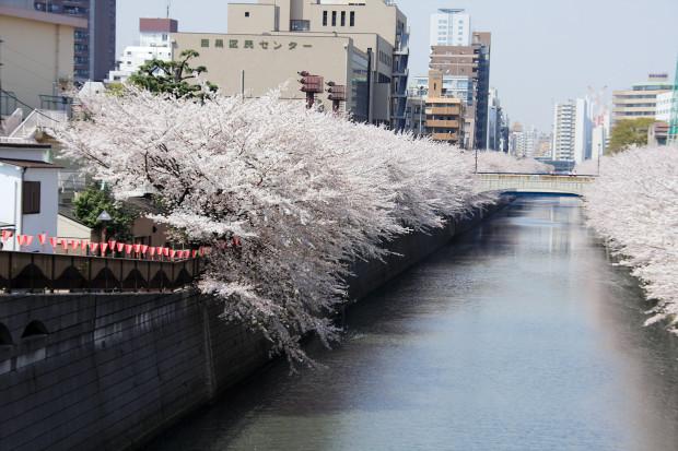 桜(さくら、目黒川花見)167