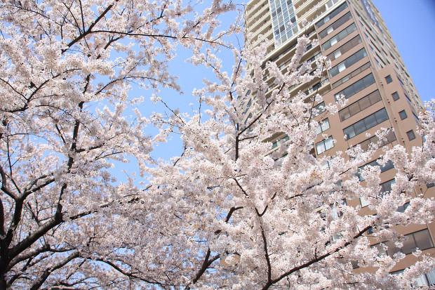 桜(さくら、目黒川花見)168