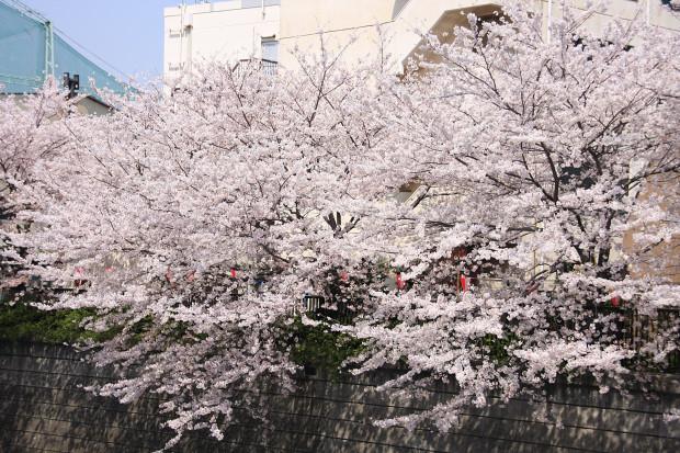 桜(さくら、目黒川花見)169