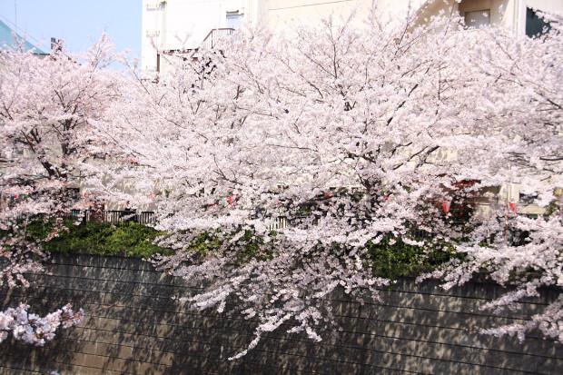 桜(さくら、目黒川花見)170