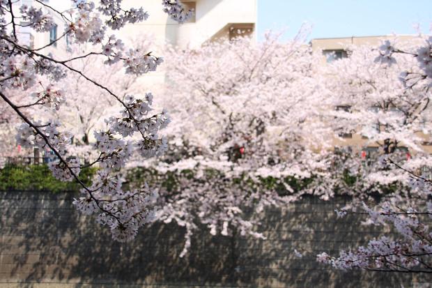 桜(さくら、目黒川花見)171