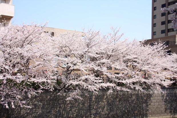 桜(さくら、目黒川花見)172