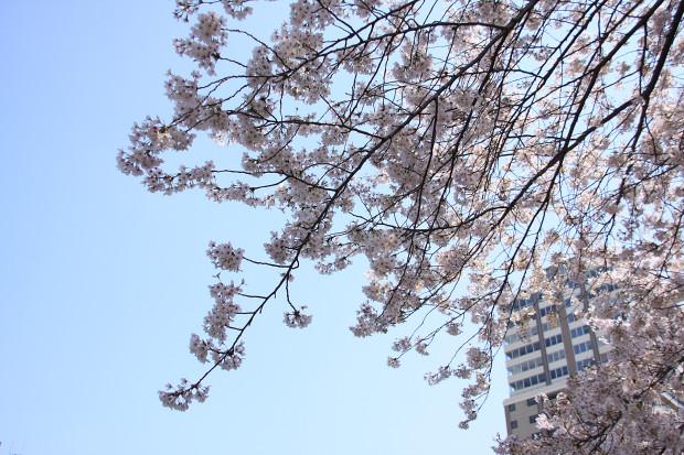 桜(さくら、目黒川花見)173