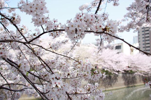 桜(さくら、目黒川花見)174