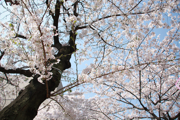 桜(さくら、目黒川花見)175