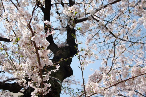 桜(さくら、目黒川花見)176