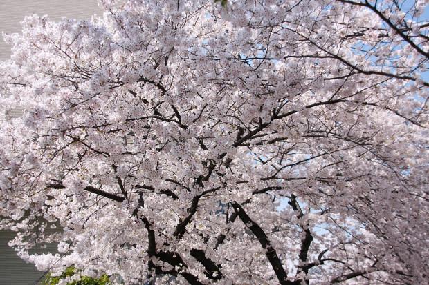 桜(さくら、目黒川花見)177