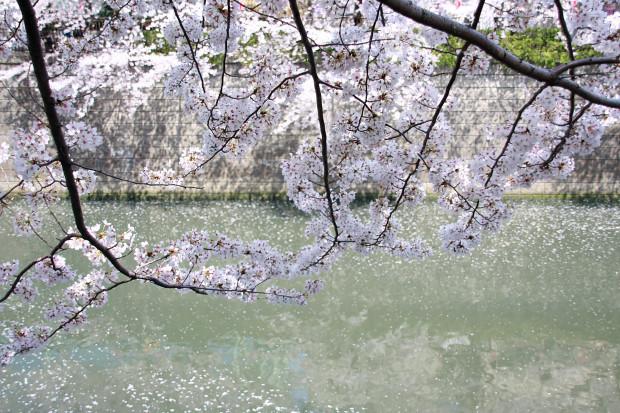 桜(さくら、目黒川花見)179