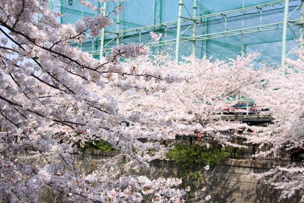 桜(さくら、目黒川花見)180
