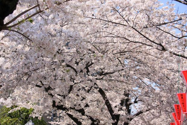 桜(さくら、目黒川花見)182