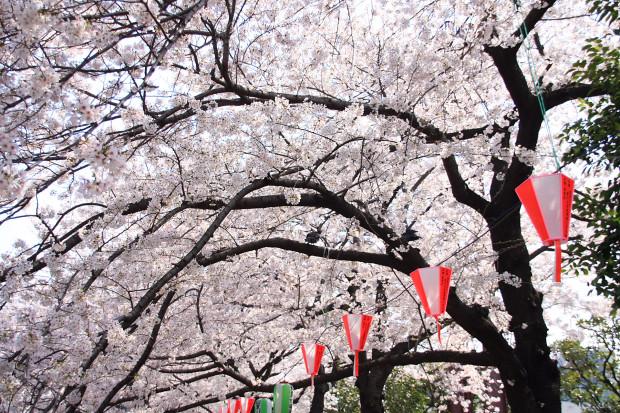 桜(さくら、目黒川花見)183