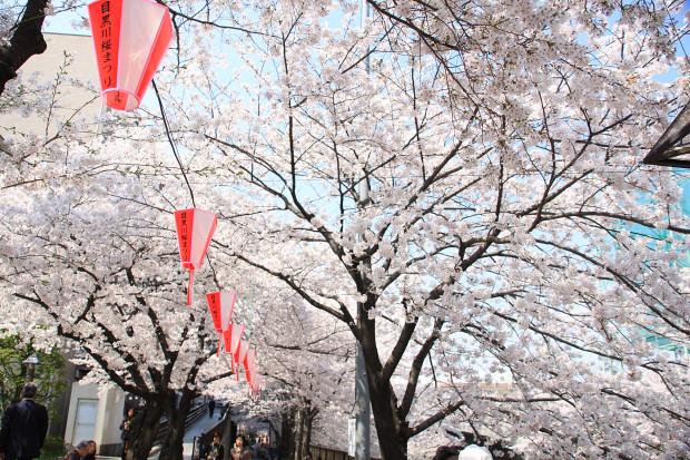 桜(さくら、目黒川花見)184