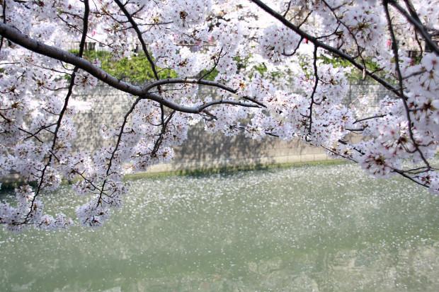 桜(さくら、目黒川花見)185