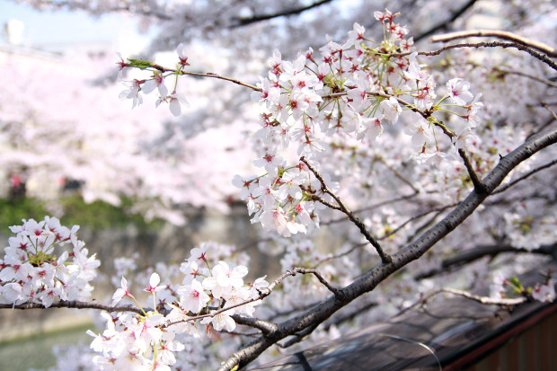 桜(さくら、目黒川花見)186